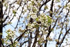 Ανθίζοντας δέντρο ανθών της Apple Στοκ Φωτογραφίες