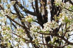 Ανθίζοντας δέντρο ανθών της Apple Στοκ φωτογραφία με δικαίωμα ελεύθερης χρήσης