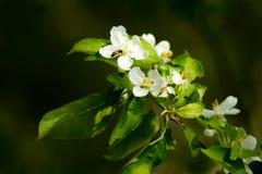 Ανθίζοντας δέντρο ανοίξεων Στοκ φωτογραφίες με δικαίωμα ελεύθερης χρήσης