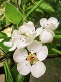 Ανθίζοντας δέντρο αχλαδιών - άσπρα λουλούδια άνοιξη Στοκ φωτογραφία με δικαίωμα ελεύθερης χρήσης