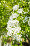 Ανθίζοντας δέντρο αχλαδιών Άσπρα λουλούδια και πράσινα φύλλα στους κλάδους Κήπος φρούτων την άνοιξη Στοκ Φωτογραφία