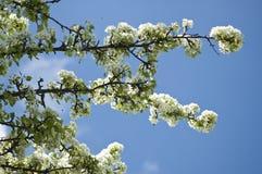ανθίζοντας δέντρο αχλαδ&iota Στοκ Εικόνα