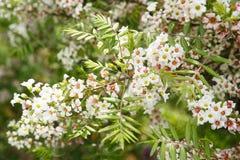 ανθίζοντας δέντρο κήπων Κλείστε επάνω τα άσπρα λουλούδια στα δέντρα στα ξύλα Στοκ Φωτογραφία