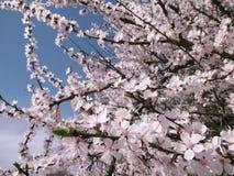 Ανθίζοντας δέντρο κερασιών - άσπρα λουλούδια άνοιξη Στοκ φωτογραφίες με δικαίωμα ελεύθερης χρήσης