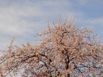 Ανθίζοντας δέντρο κερασιών στην άνοιξη Στοκ Φωτογραφία