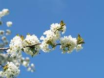 Ανθίζοντας δέντρο κερασιών (2) στοκ φωτογραφία