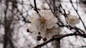 ανθίζοντας δέντρο κερασιών Στοκ φωτογραφίες με δικαίωμα ελεύθερης χρήσης