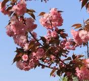 ανθίζοντας δέντρο κερασ&iot Στοκ Φωτογραφίες
