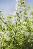 ανθίζοντας δέντρο κλάδων μήλων Στοκ εικόνα με δικαίωμα ελεύθερης χρήσης
