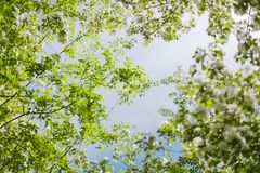 ανθίζοντας δέντρο κλάδων μήλων Στοκ Εικόνες