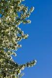 ανθίζοντας δέντρο κλάδων μ Στοκ φωτογραφία με δικαίωμα ελεύθερης χρήσης