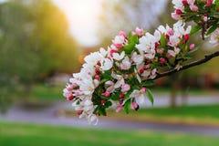 ανθίζοντας δέντρο κλάδων Όμορφα άσπρα λουλούδια και πράσινα φύλλα Άνθισμα άνοιξη Στοκ εικόνες με δικαίωμα ελεύθερης χρήσης