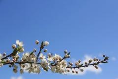 ανθίζοντας δέντρο κλάδων Στοκ εικόνα με δικαίωμα ελεύθερης χρήσης
