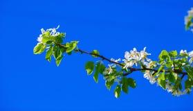 ανθίζοντας δέντρο κλάδων Στοκ φωτογραφία με δικαίωμα ελεύθερης χρήσης