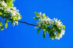 ανθίζοντας δέντρο κλάδων Στοκ Εικόνες