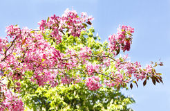 ανθίζοντας δέντρο μήλων Στοκ φωτογραφία με δικαίωμα ελεύθερης χρήσης