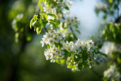 ανθίζοντας δέντρο μήλων Στοκ Εικόνες