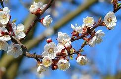 ανθίζοντας δέντρο μήλων στοκ φωτογραφία