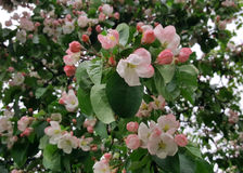 ανθίζοντας δέντρο μήλων Στοκ Εικόνα