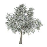 Ανθίζοντας δέντρο με τα άσπρα λουλούδια. Pyrus. Στοκ εικόνες με δικαίωμα ελεύθερης χρήσης