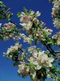 Ανθίζοντας δέντρο μηλιάς - άσπρα και ρόδινα λουλούδια άνοιξη Στοκ Εικόνες