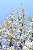 Ανθίζοντας δέντρο μηλιάς ενάντια στον ουρανό Στοκ Εικόνες