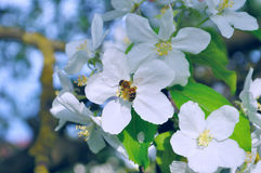 Ανθίζοντας δέντρο μηλιάς με τη μέλισσα που συλλέγει το νέκταρ από ένα λουλούδι-φυσικό floral υπόβαθρο άνοιξη Στοκ Εικόνες