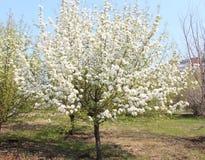 Ανθίζοντας δέντρο μηλιάς σε ένα πάρκο στην πλήρη αύξηση Στοκ Φωτογραφίες