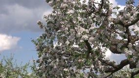 Ανθίζοντας δέντρο μηλιάς στον κήπο οπωρώνων απόθεμα βίντεο