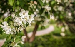 Ανθίζοντας δέντρο μηλιάς στον κήπο την άνοιξη Στοκ Εικόνες