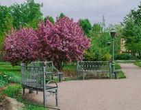 Ανθίζοντας δέντρο μηλιάς στο πάρκο Στοκ Εικόνα