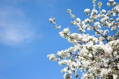 Ανθίζοντας δέντρο μηλιάς στο υπόβαθρο μπλε ουρανού Στοκ Φωτογραφίες