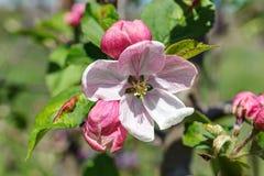 Ανθίζοντας δέντρο μηλιάς την άνοιξη Στοκ εικόνα με δικαίωμα ελεύθερης χρήσης