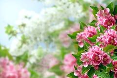 Ανθίζοντας δέντρο μηλιάς Στοκ Εικόνα