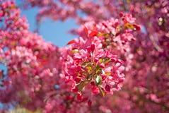 Ανθίζοντας δέντρο μηλιάς malus δικαιώματος Στοκ Φωτογραφία