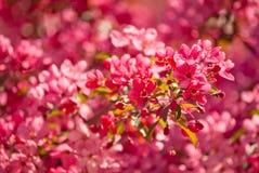 Ανθίζοντας δέντρο μηλιάς malus δικαιώματος Στοκ Φωτογραφίες