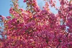 Ανθίζοντας δέντρο μηλιάς malus δικαιώματος Στοκ Εικόνες