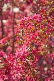 Ανθίζοντας δέντρο μηλιάς malus δικαιώματος Στοκ Εικόνα