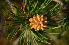 Ανθίζοντας δέντρο πεύκων Στοκ Φωτογραφίες