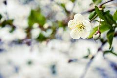 Ανθίζοντας δέντρο που καλύπτεται με τα λουλούδια, οφθαλμοί, οφθαλμοί Στοκ Εικόνες