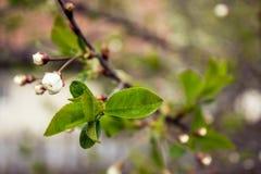 Ανθίζοντας δέντρο που καλύπτεται με τα λουλούδια, οφθαλμοί, οφθαλμοί Στοκ φωτογραφία με δικαίωμα ελεύθερης χρήσης