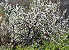 Ανθίζοντας δέντρο της Apple στη βροχή Στοκ Εικόνες