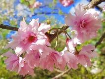 ανθίζοντας δέντρο Στοκ φωτογραφίες με δικαίωμα ελεύθερης χρήσης