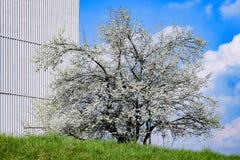 Ανθίζοντας δέντρο Στοκ Εικόνες
