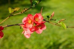 Ανθίζοντας δέντρο Malus «βασιλική ομορφιά» της Apple Στοκ εικόνες με δικαίωμα ελεύθερης χρήσης