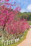 Ανθίζοντας δέντρο sakura κατά μήκος του όμορφου δρόμου στο εθνικό πάρκο ANG Khang Doi Στοκ Εικόνες