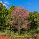 Ανθίζοντας δέντρο sakura κατά μήκος του όμορφου δρόμου στο εθνικό πάρκο ANG Khang Doi Στοκ εικόνες με δικαίωμα ελεύθερης χρήσης
