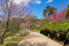 Ανθίζοντας δέντρο sakura κατά μήκος του όμορφου δρόμου στο εθνικό πάρκο ANG Khang Doi Στοκ εικόνα με δικαίωμα ελεύθερης χρήσης