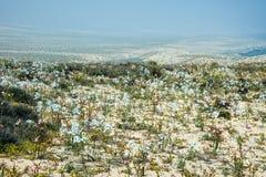 Ανθίζοντας έρημος στο της Χιλής Atacama Στοκ φωτογραφία με δικαίωμα ελεύθερης χρήσης