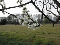 ανθίζοντας δαμάσκηνο Ανθίζοντας άσπρο δέντρο την άνοιξη Ιταλία Τοσκάνη Στοκ εικόνες με δικαίωμα ελεύθερης χρήσης